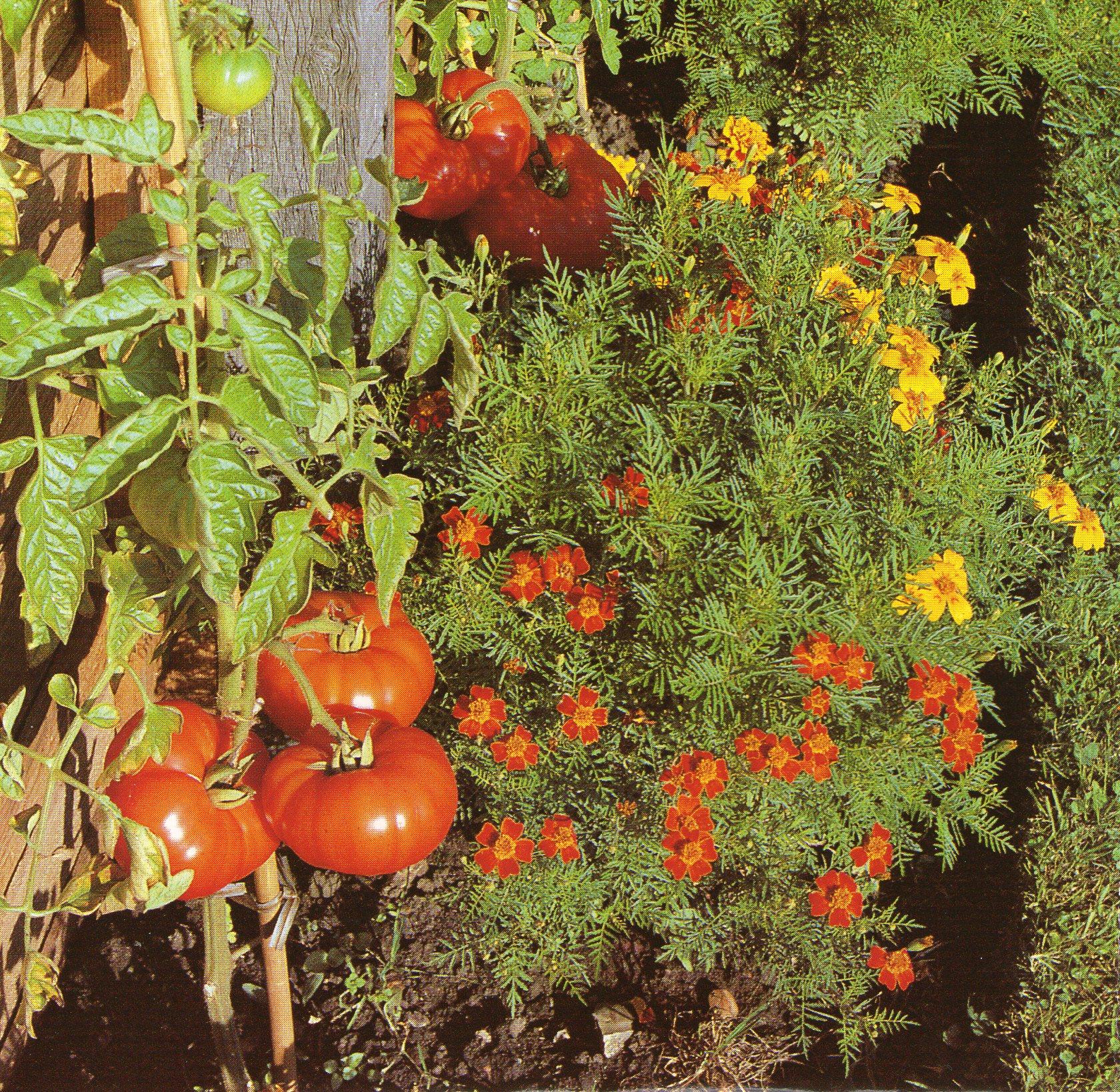 Plantes amies au jardin en un clic trucs et conseils colos for Plante au jardin